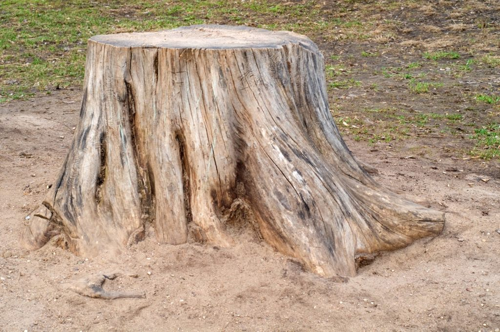 a old and dry tree stump