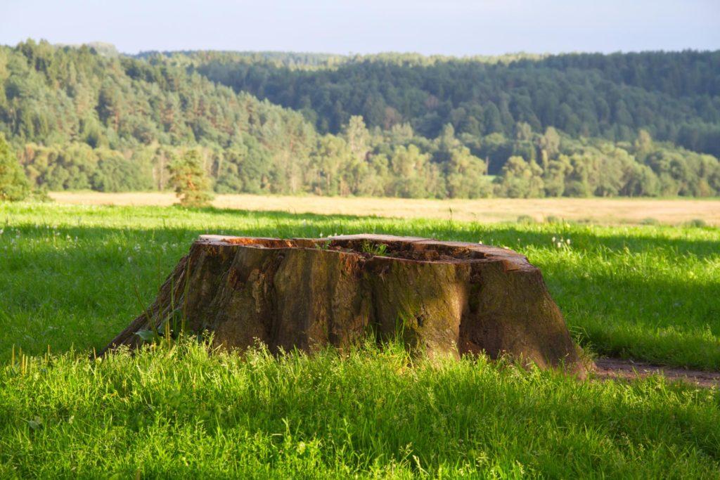 a huge tree stump