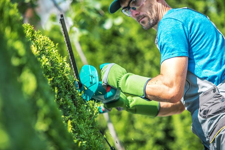 gardener trimming the hedge